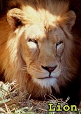 I'm a Lion!